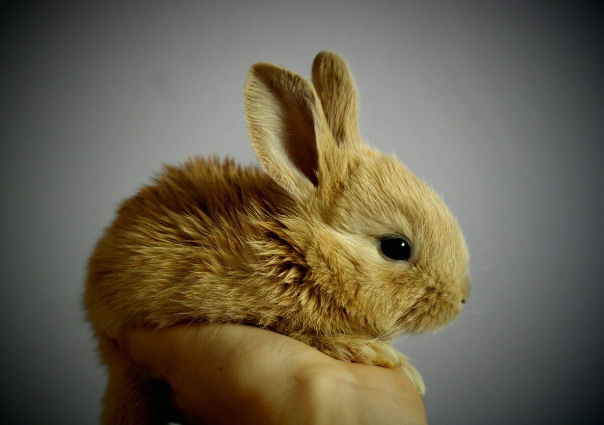 Rabbit Bunny Pet Young Rabbit Baby Rabbit Animal